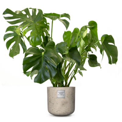 Linder_Blumen_James_Philodendron